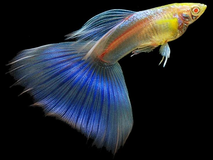 Яркая сине-золотая рыбка гуппи