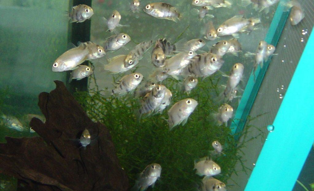 Молодые рыбки выглядывают из зарослей травы