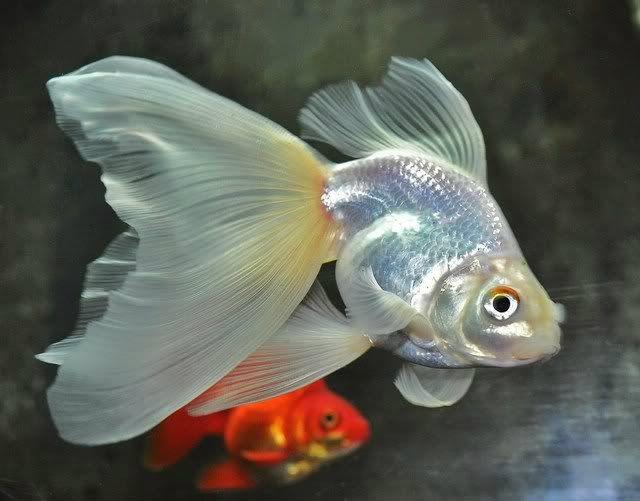 Серебристая золотая рыбка вуалехвост