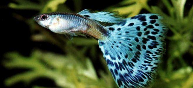 Рыбка гуппи голубого цвета