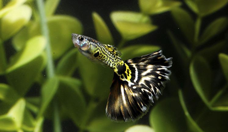 Рыбка гуппи тигровой окраски
