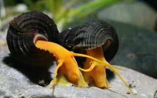 Роль улиток в аквариуме