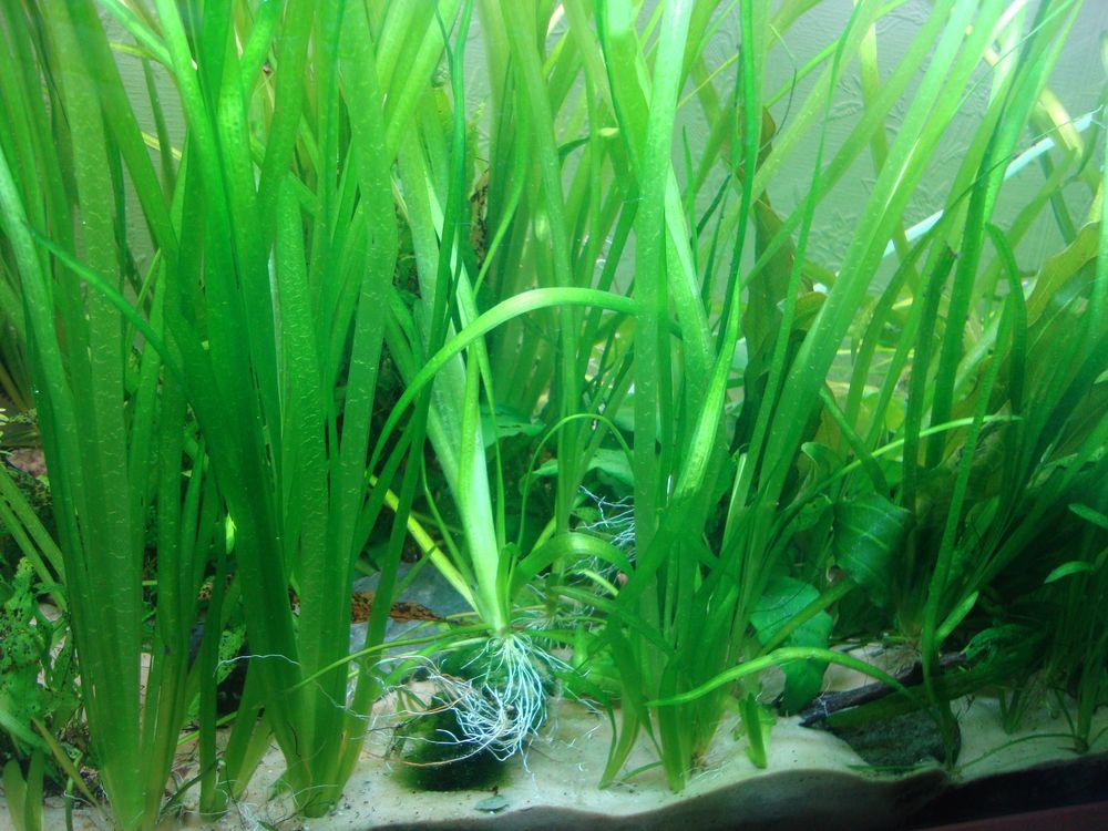 Так выглядит валлиснерия в аквариуме