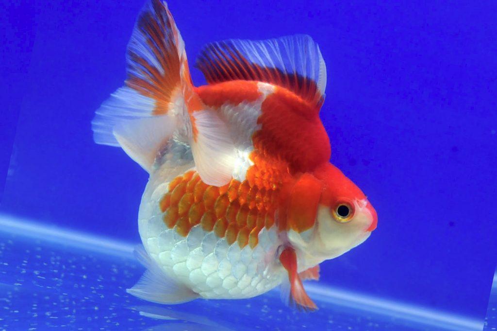 Рыбка рюнкин на дне аквариума