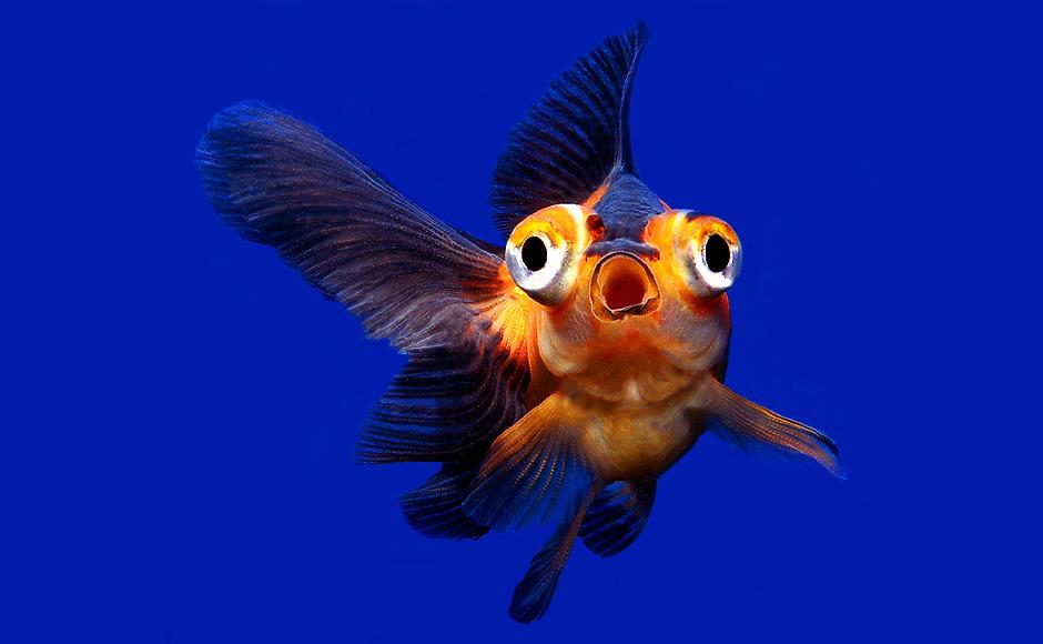 Золотая рыбка телескоп удивлена