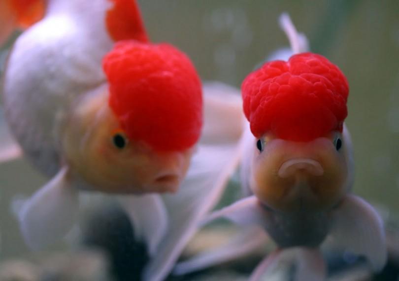 Две красивых золотых рыбки оранды