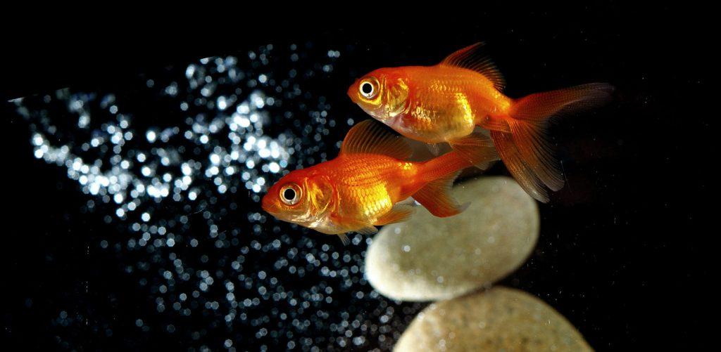 Золотые рыбки нравятся друг другу