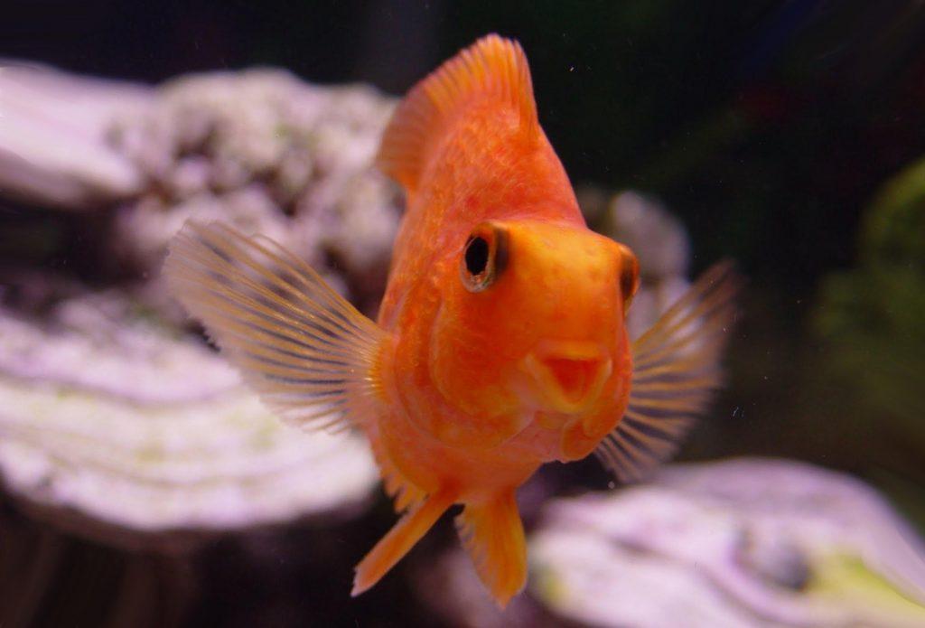 Классическая золотая рыбка довольна собой