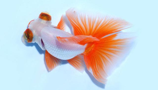 Золотая рыбка бабочка дзинкин на голубом фоне