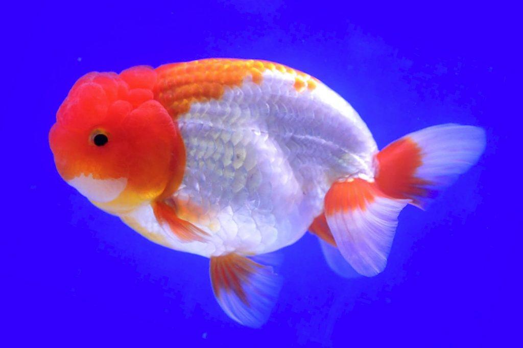 Золотая рыбка львиноголовка