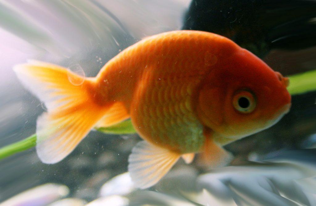 Ранчу - золотая рыбка