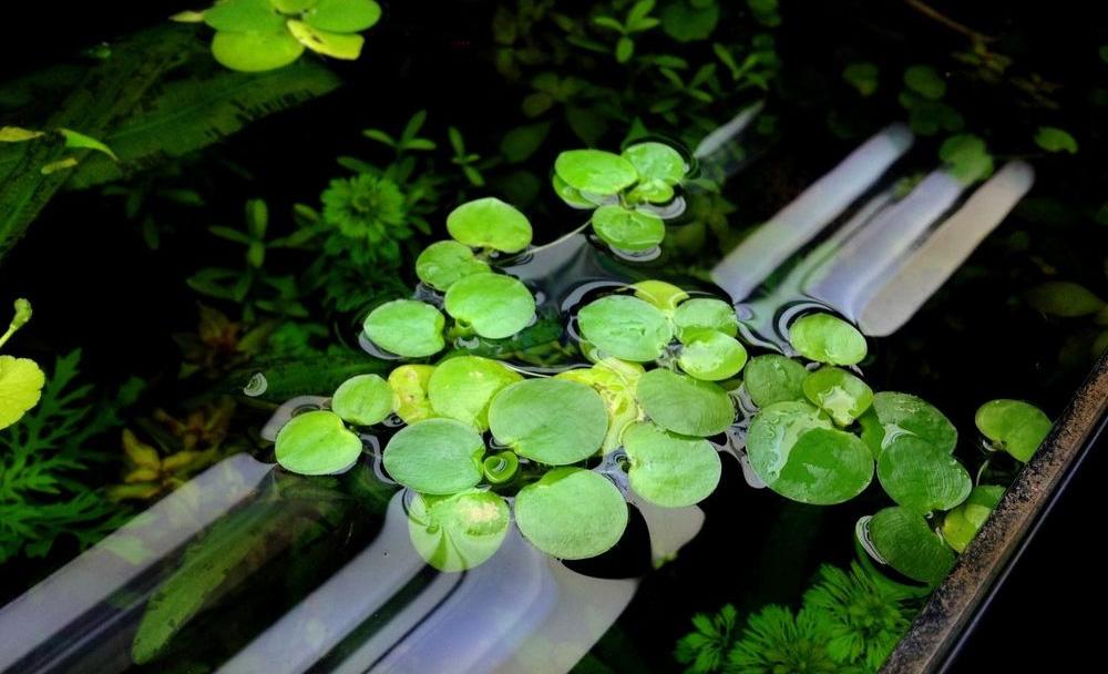 Лимнобиум побегоносный на поверхности воды