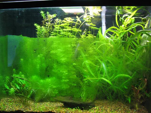 Зеленый налет на стенке аквариума